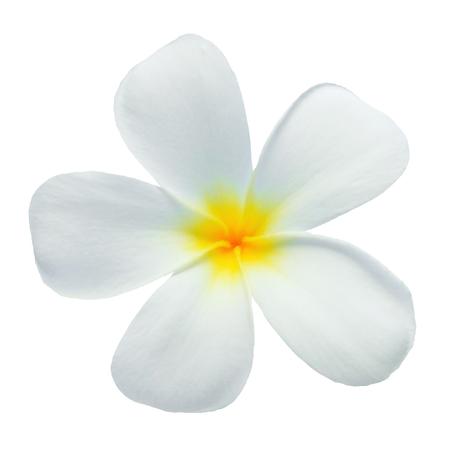 isolated flower: Frangipani flower isolated on white
