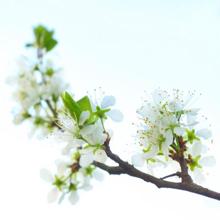 fleur de cerisier: Cherry plum fleur sur le ciel doux Banque d'images