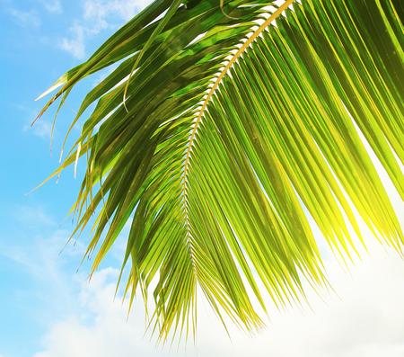 fresh leaf: Fresh palm tree leaf over blue sky