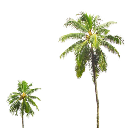 palm trees: Isolated tropical palm trees on white Stock Photo