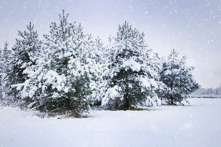 snowing: Snowing in the winter forest