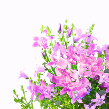 Spring flowers of campanula isolated on white background