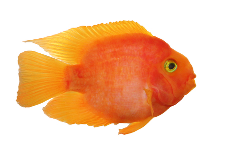 Parrot red cichlid fish isolated on white