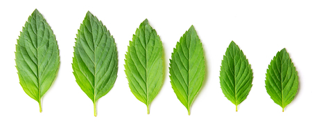 Group of different mint leaves isolated on white background, top, view Stok Fotoğraf