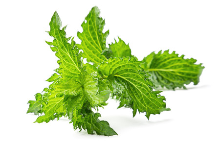 Mohito mint branch on the white background