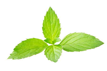 Fresh ripe mint branch, isolated on the white background