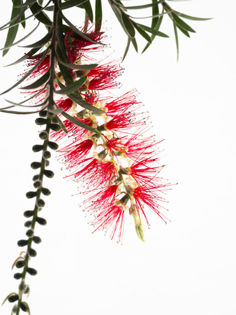 callistemon citrinus: Red Flower Bottle Brush, Callistemon citrinus