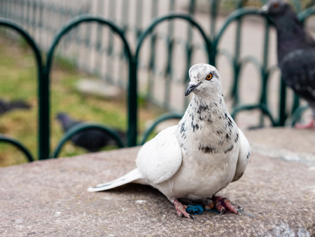 birding: Watching dove perched on a stone bench in the park