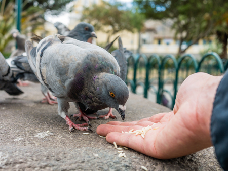 pigeons: Pigeons eating rice hand Stock Photo