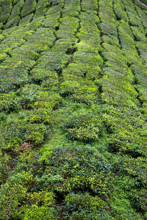 boh: Tea Plantation At Cameron Highlands Malaysia
