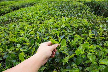 boh: Hand of adult man plucking tea leaf at Cameron Highland tea plantation.