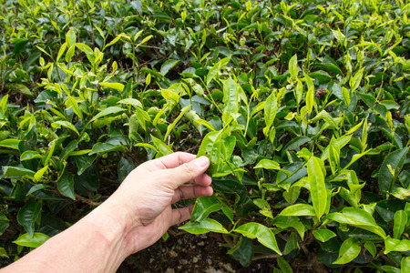 boh: Hand of adult man plucking tea leaf at Cameron Highland tea plantation.