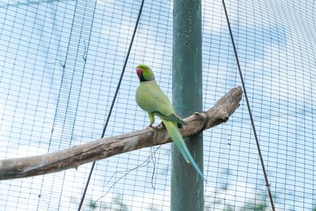 KL Bird Park. Indian Ringneck Parakeet (Psittacula krameri).