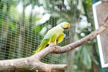 kl: KL Bird Park. Indian Ringneck Parakeet (Psittacula krameri).
