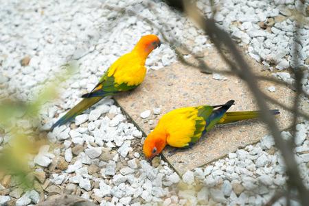 kl: KL Bird Park. Peach Face Lovebird Parrot (Agapornis roseicollis).