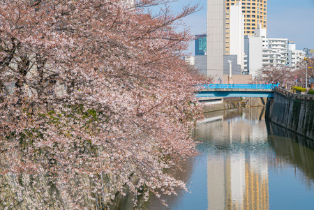Tokyo, Japan - April 3, 2017: People passing by at Meguro River during cherry blossoms (sakura hanami). Meguro River is the most famous place to enjoy cherry blossoms which is a Japanese custom. Stock Photo - 77866194