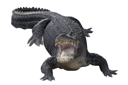 alligator: Aggressive alligator with mouth wide open
