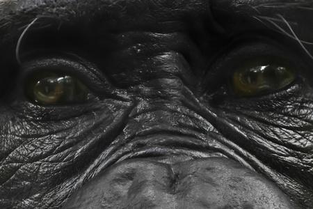 glance: Dark glance of a gorilla