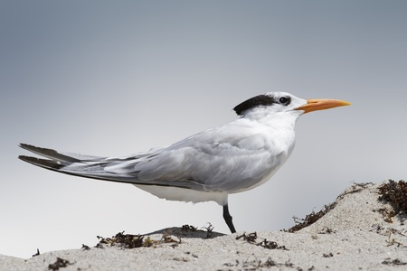 sidecut: Isolated tern stands in the beach sand