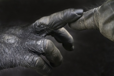 anthropoid: Touching fingers of a gorilla Stock Photo