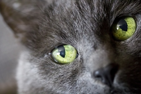 critter: Close up of a cat with green eyes Stock Photo