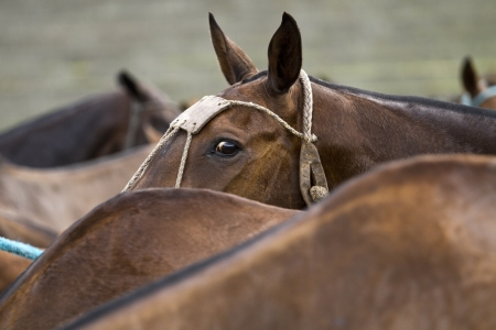 headcollar: Horses of a polo competition after the game Stock Photo