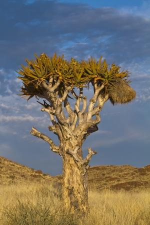 quiver: Quiver boom bij zonsondergang in Namibië