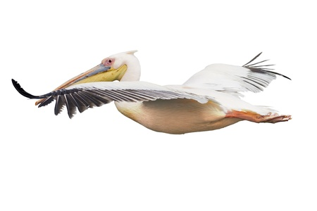 Pelican: flying pelican Stock Photo