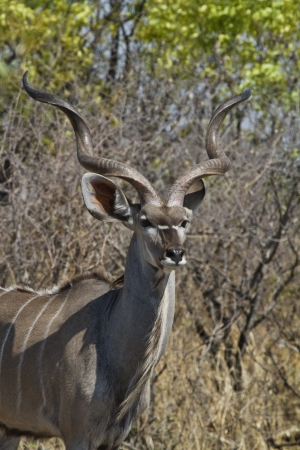 greater: Greater Kudu looks for enemies