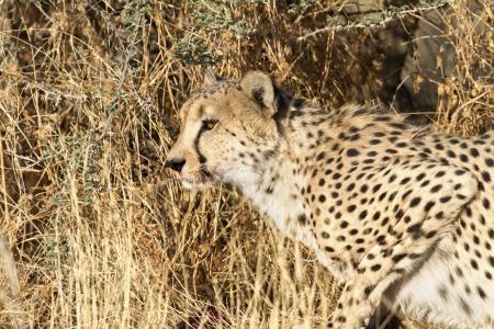 brushwood: cheetah sits in brushwood