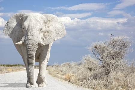 White elephant walks on road