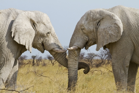 tenderly: elephants treat each other tenderly