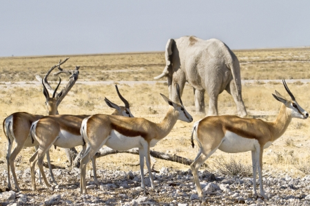 gazelle: herd of springbok with elephant in the background Stock Photo