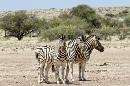 kalahari: Three zebras standing in the steppe of the kalahari Stock Photo