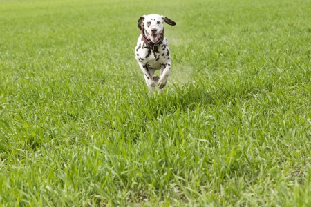 Dalmation runs to meet the dog trainer