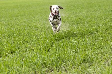 perro corriendo: Dalmation corrió a reunirse con el entrenador de perros