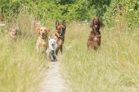 shepperd: A group of dogs waiting  for the command of the trainer to run