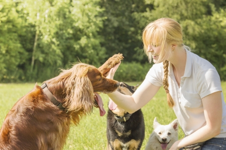Dog trainer trains irish setter to give high five Stock Photo