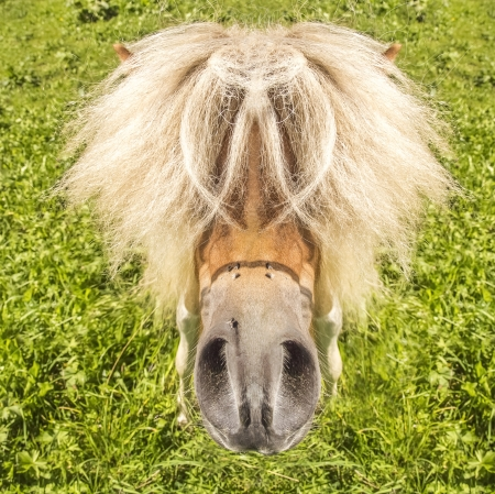 Pony with funny hairstyle looks into the camera