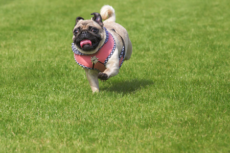 Running pug dog with fancy dirndl dress and  Edelweiss brooch on Oktoberfest Banque d'images