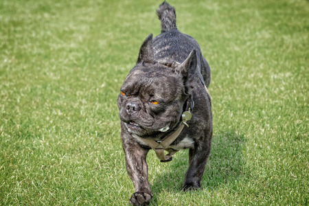 menacing: French bulldog with fierce look walks on a lawn