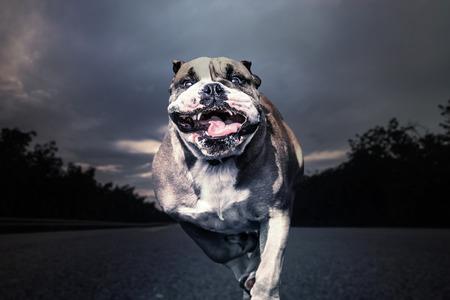 perro furioso: Bulldog feroz corre a lo largo de un camino solitario