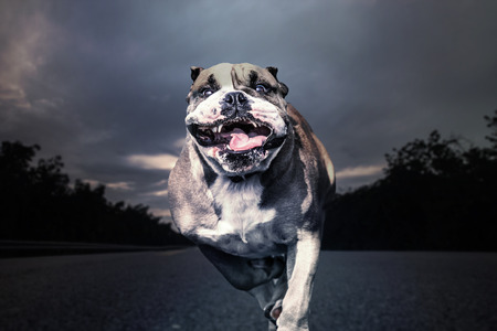 Fierce bulldog runs along a solitary road Stock Photo