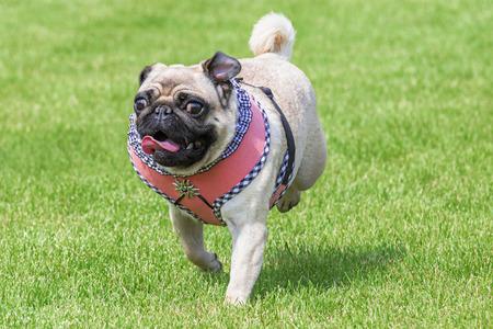 dirndl dress: Running pug dog with fancy dirndl dress and  Edelweiss brooch on Oktoberfest Stock Photo