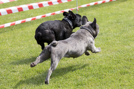 runs: Two french bulldogs running on a lawn