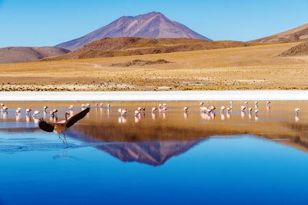atacama: Laguna at the  Ruta de las Joyas altoandinas  in Bolivia with pink flamingos fishing in the lake and mountain reflecting in the lake.In the foreground a flamingo is landing in the laguna. Stock Photo