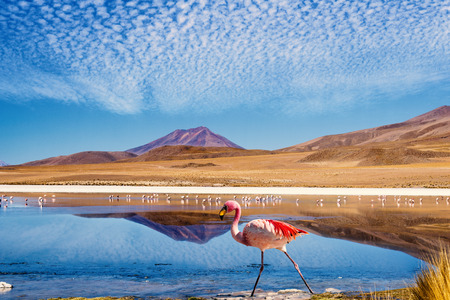 deserts: Laguna at the Ruta de las Joyas altoandinas in Bolivia with pink flamingo walking through the scene Stock Photo