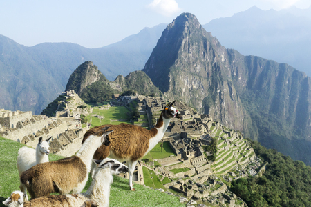 cult: Machu Picchu site Withstanding lama herd from above. Machu Picchu ruins in Peru are UNESCO World Heritage and one of the worlds most famous cult sites.
