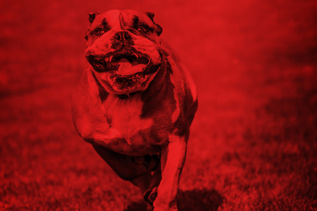 slobber: Dangerous bulldog with widely open mouth atacks. The red overlay underlines the dangerousness of the scene.