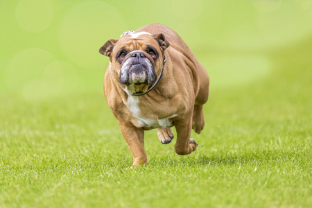Grumpy looking overweight bulldog runs over the green
